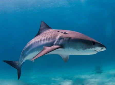 Мифы про акул