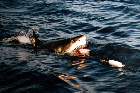 акулы мифы